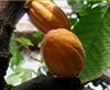 20%可可堿可可豆提取物供應