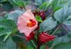 5%花青素玫瑰茄提取物Roselle Extract