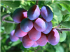 40%檸檬酸烏梅提取物smoked plum extract /dark plum extract